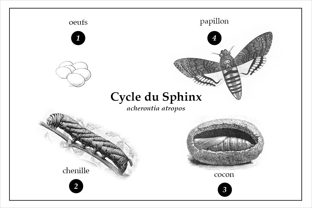 Cycle du sphinx tête de mort